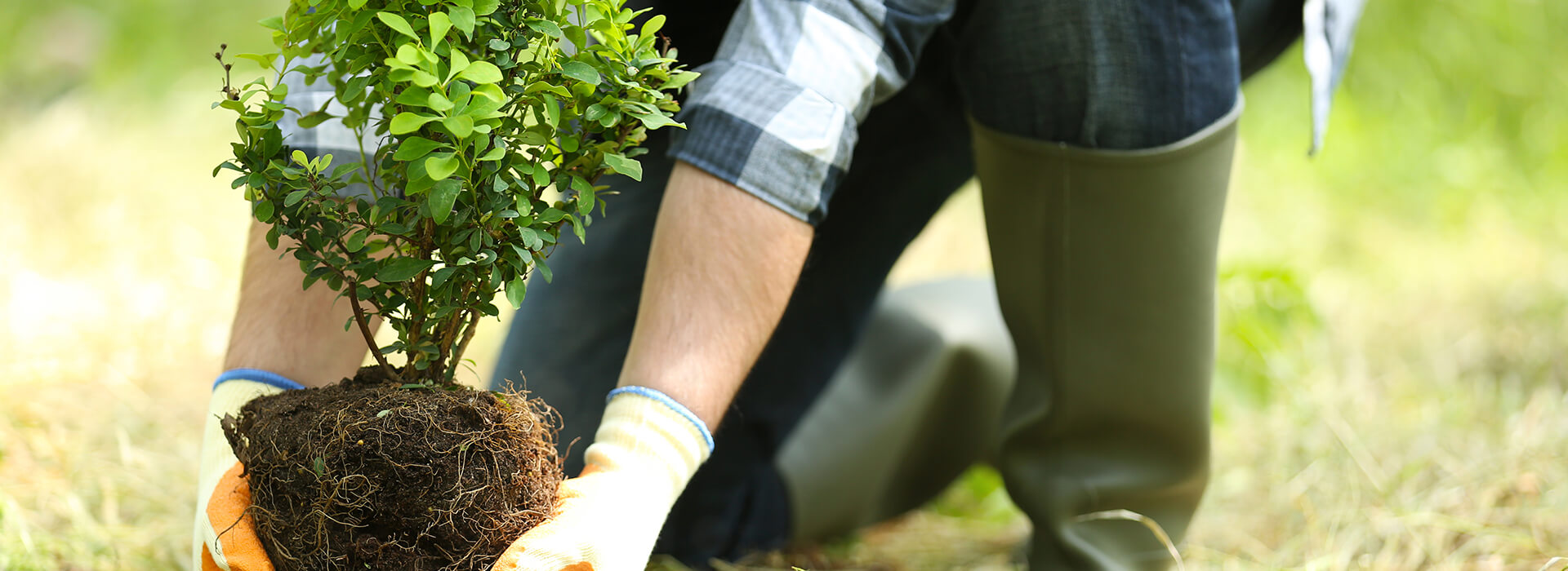 Landscaper placing plant into ground